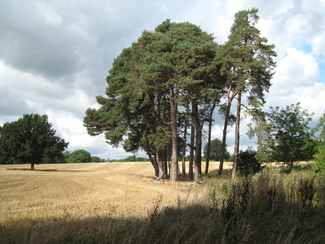 Clump of Scots Pine