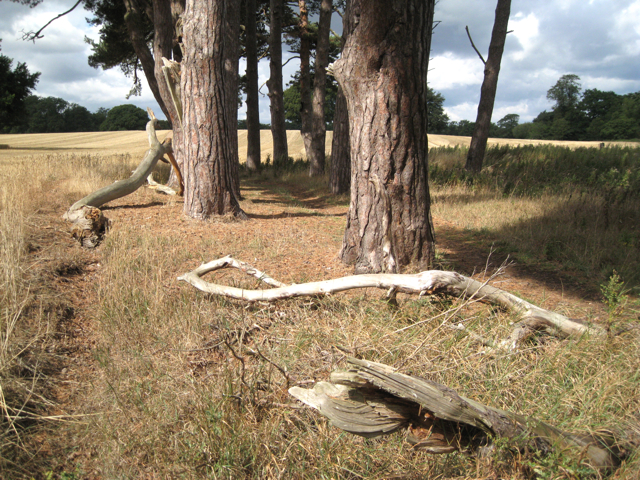 Fallen branches beneath Scots Pine