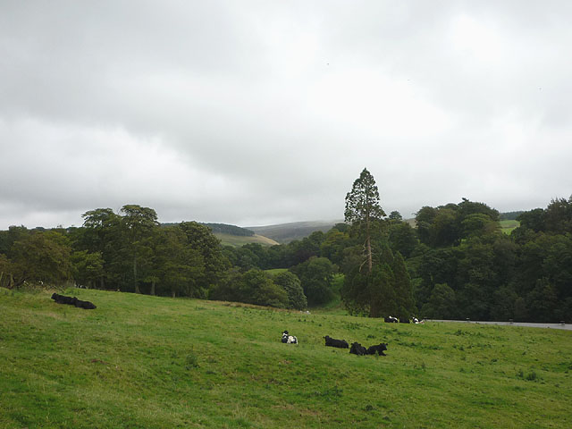 Cattle in pasture, Littledale