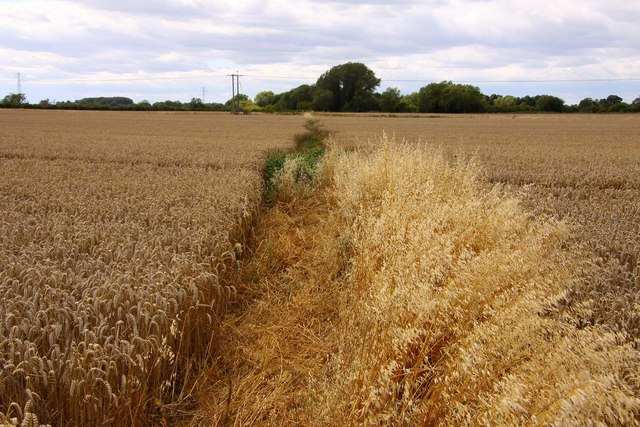 Bridleway through the wheatfield