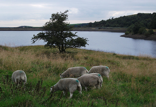 Sheep on the shore of Piethorne Reservoir