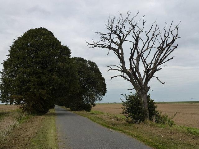 Dead tree on Thorney Dyke