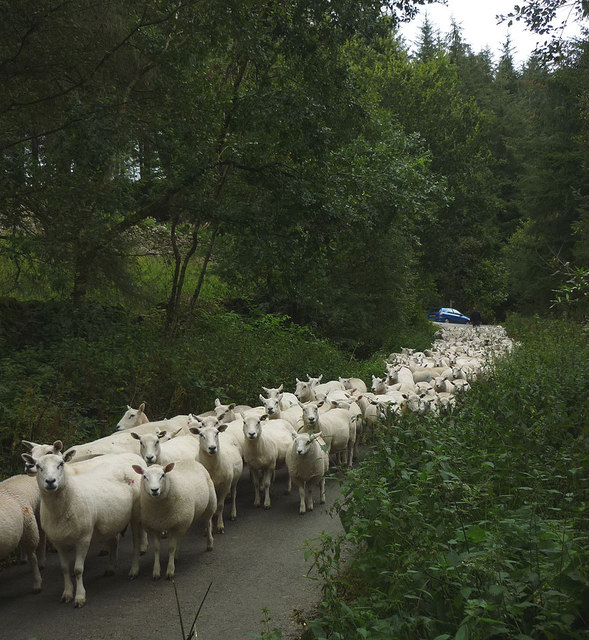 Sheep coming down the road at Crossgill