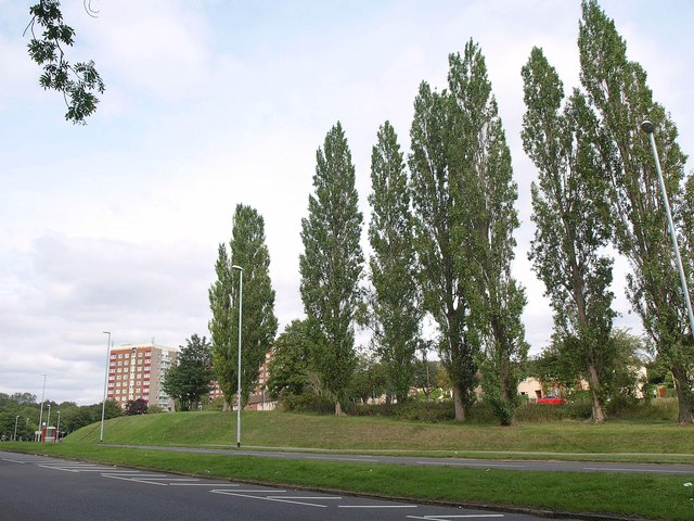Poplars by the A58