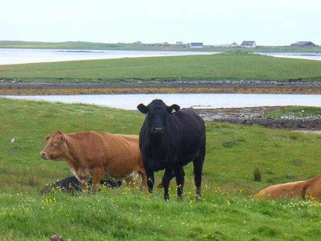 Cattle by Bail Uachdraich