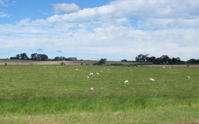 Sheep grazing land near Coatham Mundeville