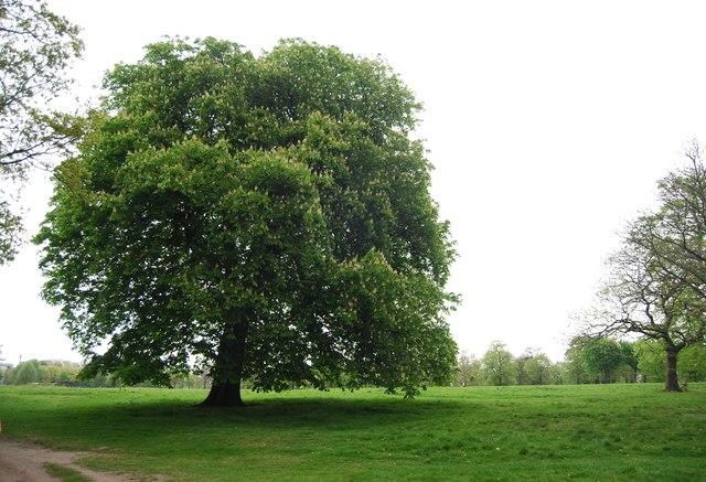 Chestnut tree, Hyde Park