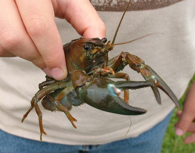 Invading crayfish, Lark in the Park