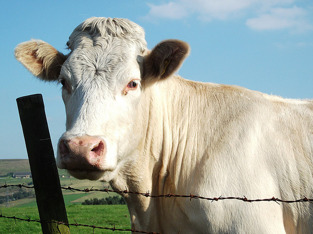 White cow on Tunshill Lane