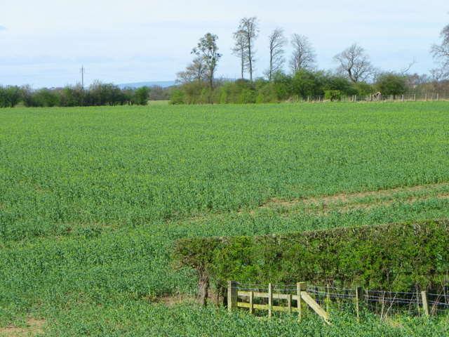 Oilseed rape, Ulgham