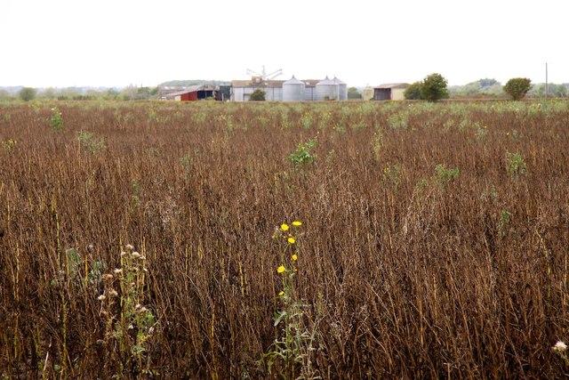 Field of rape by Manor Farm