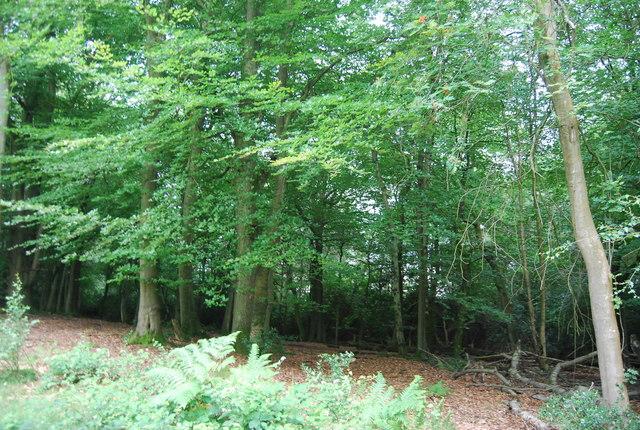 Woodland on Black Down