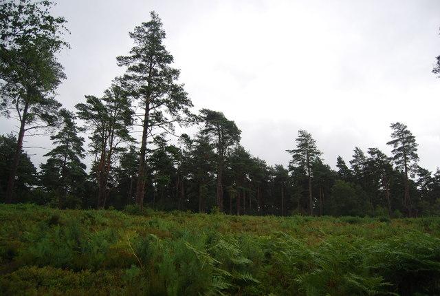 Bracken and woodland, Black Down
