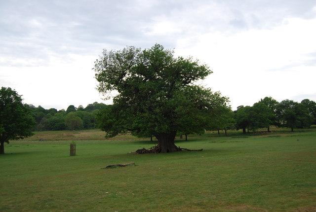 Isolated tree, Richmond Park