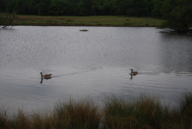 Geese, Pen Ponds