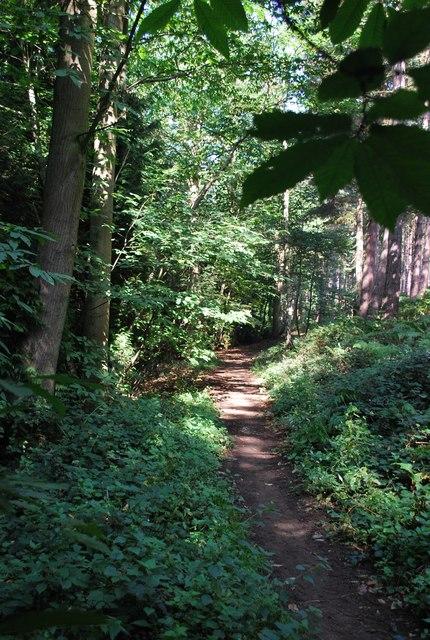 Start of the evergreen trees Rowney Warren Woods