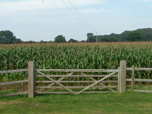 Field of maize
