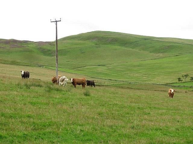 Cattle, Cleugh