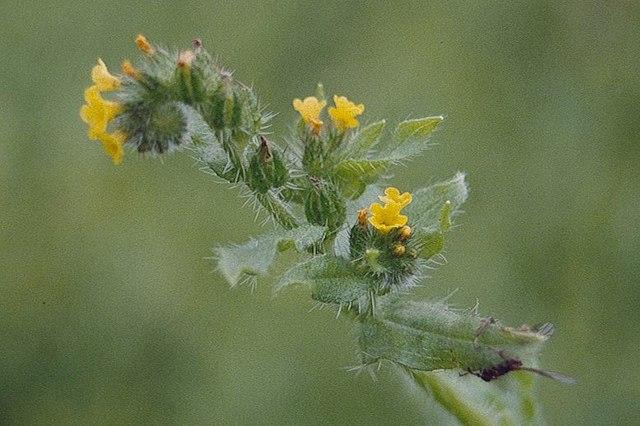 Fiddleneck sp. (Amsinckia sp.), Troal, Norwick