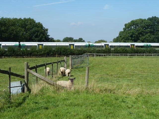 Sheep by the railway