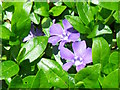 NZ2392 : Lesser Periwinkle (Vinca minor) by Miss Steel