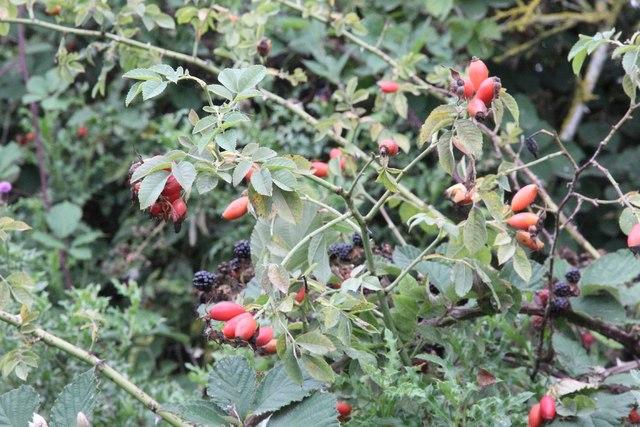 Rose hips and blackberries