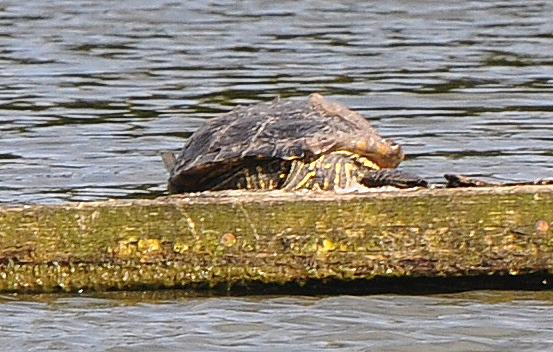 Unusual place to find a Terrapin