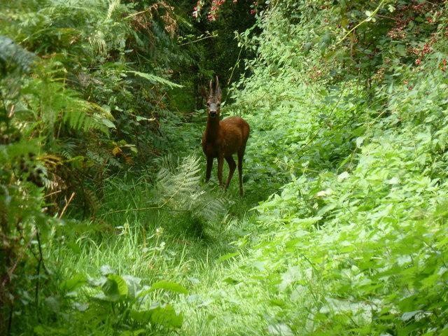 Deer on footpath off Lambourne Lane