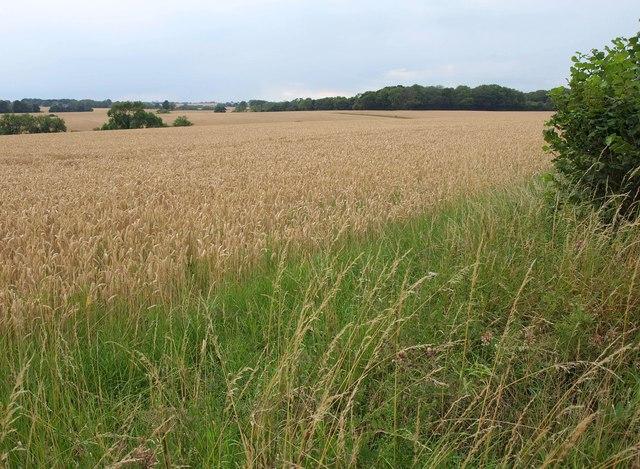 Wheat near Becca Hall