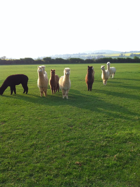 Alpacas near Badby Wood, Northants
