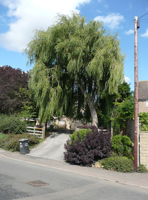 Suburban willow, Wellingborough Road, Mears Ashby