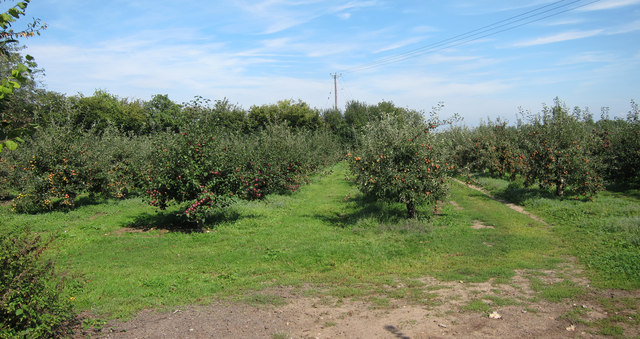Apple orchards by Pested Lane
