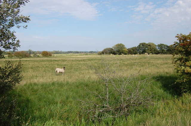 Sheep in the Rother Valley, near Newenden
