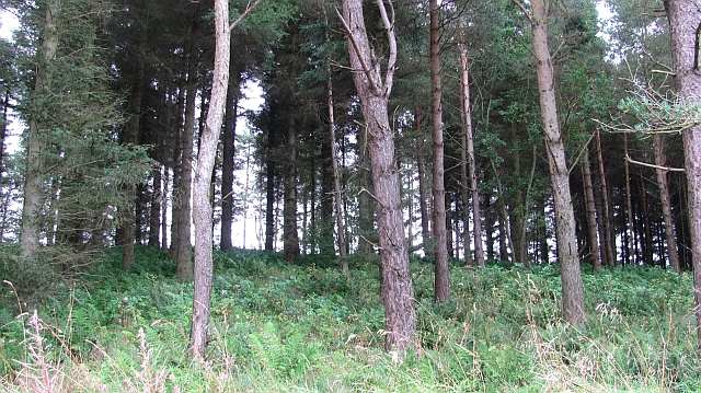 Small pine wood