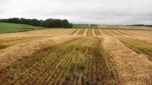 Barley, Fawside