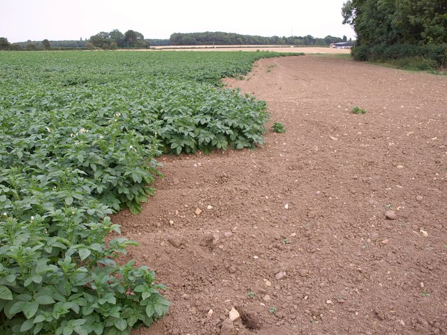 Potatoes near South Plantation