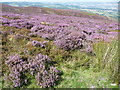 SJ3700 : Purple heather at the northerly end of the Stiperstones ridge by Jeremy Bolwell