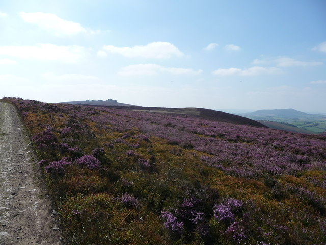 Purple heather north of the Stiperstones