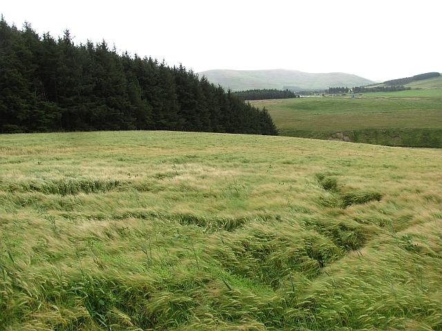 Barley, Maidencots
