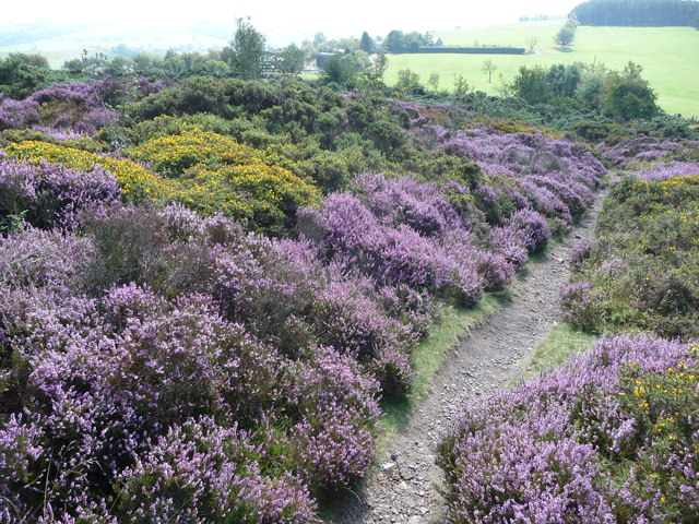 Purple heather and yellow gorse on the Stiperstones