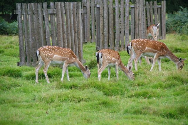 Fallow deer in Dunham Park