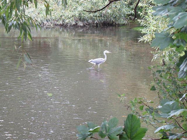 Heron in the Wandle