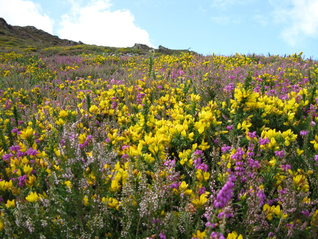 Gorse and Heather blooms