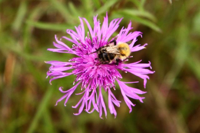 Bee on black knapweed