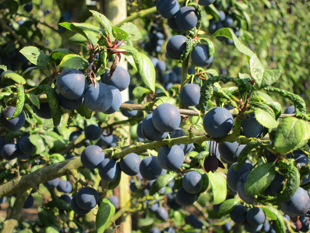 Damsons at Brogdale Farm