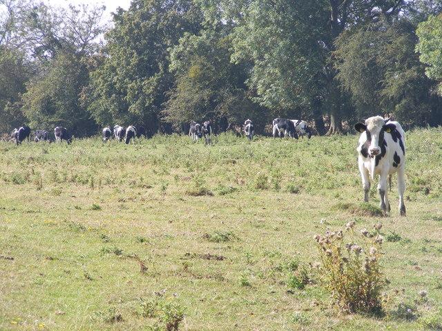 Outcast Cow