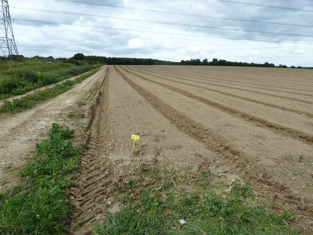 New crop near Horn Hill