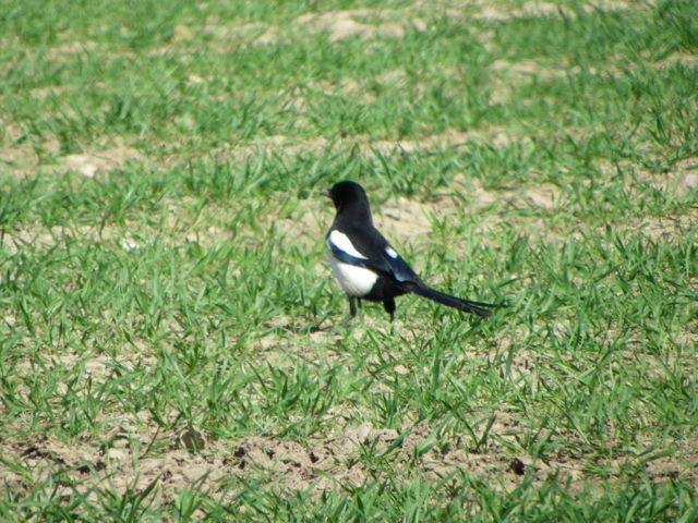 Magpie (Pica pica), Broomhill