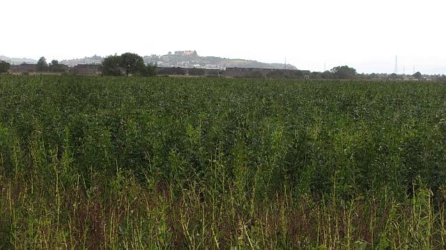 Bean crop, Longcarse