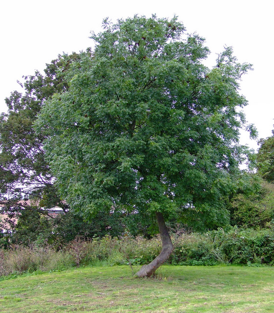 Tree in Elthorne Park